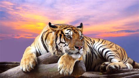 Best Tiger Wallpaper Hipwallpaper Awesome
