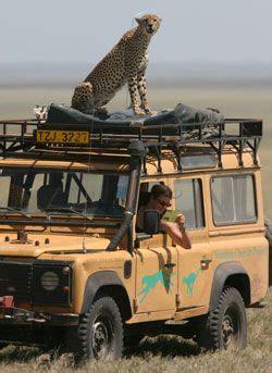 serengeti cheetah  long   aint starving