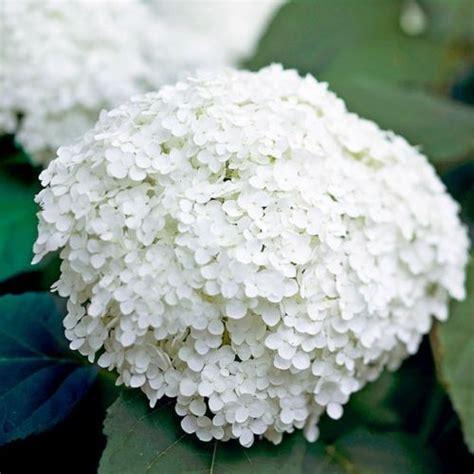 eichenblatt hortensie schneiden die annabelle hortensie ist eine leicht anzubauende