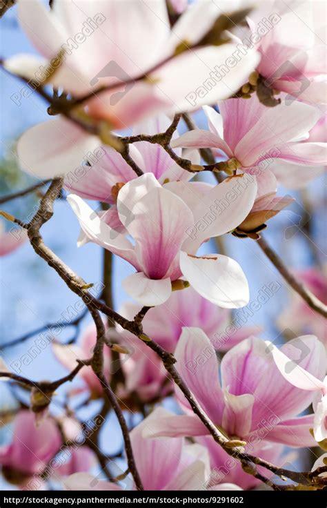 baum mit rosa blüten magnolien baum mit rosa bl 252 ten im fr 252 hling mit stock photo 9291602 bildagentur panthermedia