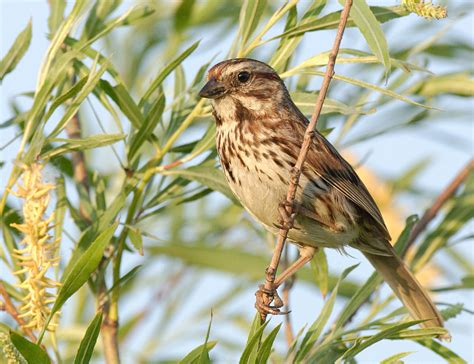 song sparrow wikiwand