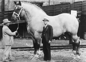 World's Biggest horse - Brooklyn Supreme stood 19.2 hands ...