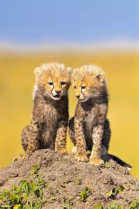 National Geographic Cheetah Cubs