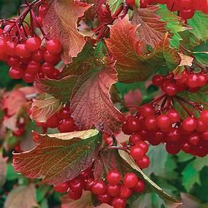 'Bailey Compact' American cranberry bush - FineGardening