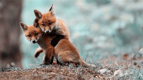 Baby Animals Wallpaper - anime cubs fox cubs fox nature blurred animals baby