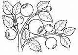 Coloring Pages Blueberries Berries Fruits Coloringtop sketch template