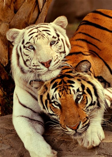 White Tiger Orange Cuddling Animals