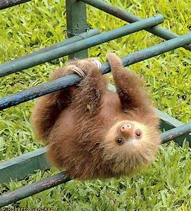 Sloths Hanging | www.pixshark.com - Images Galleries With ...