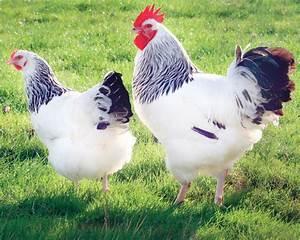 Poule Pondeuse Race : sussex hermin e la ferme de beaumont les poules de ~ Dallasstarsshop.com Idées de Décoration
