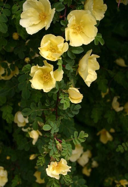 rosa hugonis wikipedia