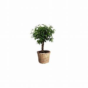 Cache Pot Tressé : ficus natacha tronc tress cache pot plantes et jardins ~ Teatrodelosmanantiales.com Idées de Décoration