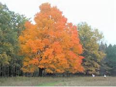 template 200110130038 ...Sugar Maple Tree