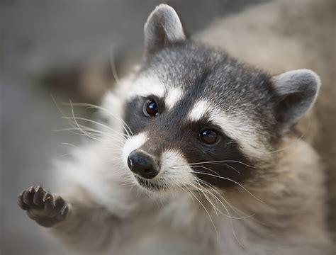 tiernas imagenes de mapaches  te robaran el corazon