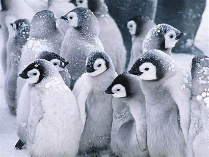Penguins Cute Arctic Wallpapers