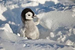 Watch a Cuddly Baby Penguin Struggle to Survive in its ...