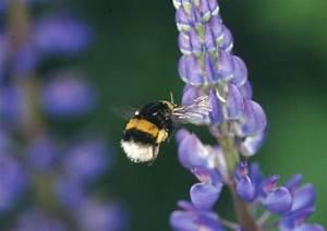 Was Ist Lupine : lupinus spec lupine mit anfliegender erdhummel bombus terrestris zoom die honigmacher ~ Yasmunasinghe.com Haus und Dekorationen