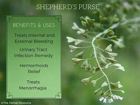 bloom purses shepherd 39 s purse herb uses and health benefits