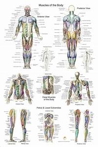 Human Muscle Anatomy Poster Anterior Posterior And Deep