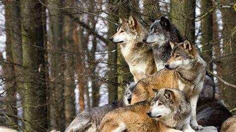 hd wolf pack wallpaper