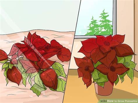 grow poinsettia    images poinsettia plant