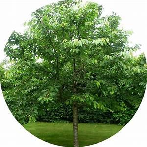 Arbre Ombre Croissance Rapide : vente arbres fruitiers ~ Premium-room.com Idées de Décoration