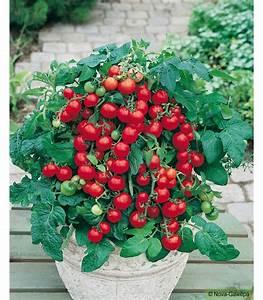 Planter Graine Tomate : sachet de graines a semer de tomate cerise balkonstar ~ Dallasstarsshop.com Idées de Décoration