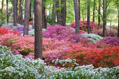 how to plant and care for azaleas deb s garden deb s