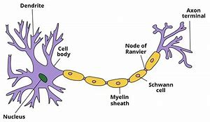 High quality images for nerve cell diagram labeled 8869 hd wallpapers nerve cell diagram labeled ccuart Gallery