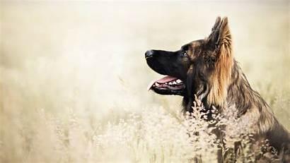 Shepherd German Dog Desktop
