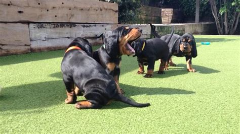 black and tan coon hound my dog breed dog breeds picture