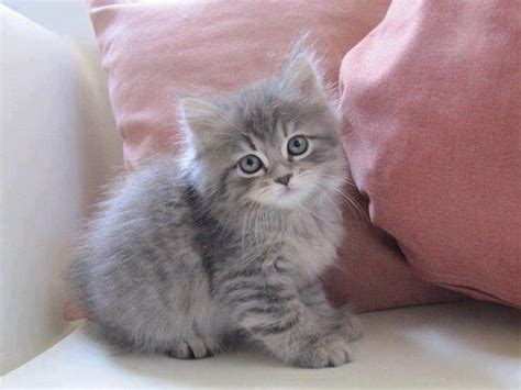 Aesthetic, Animal, Beautiful, Cat, Grey