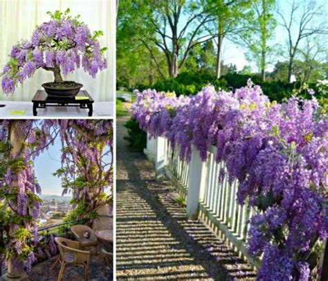 wisteria grown in pots grow wisteria in a pot the easy tutorial