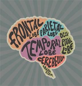 Human Brain Lesson for Kids: Function & Diagram | Study.com