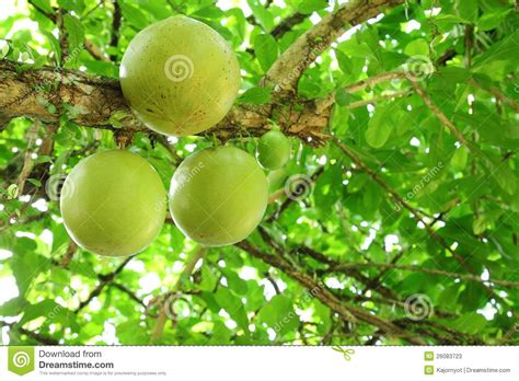 The Close Up Of Calabash Tree Fruit Stock Photos Image
