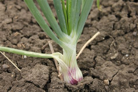 when to plant life at dharwad onion plant and flowers