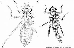 Odonata Larvae  A  Dragonfly Macrothemis Hageni  B