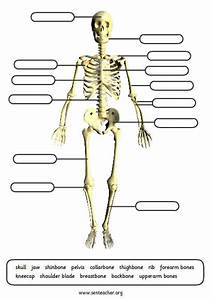 Human Skeleton Labeling Worksheet  U2013 Defenderauto Info