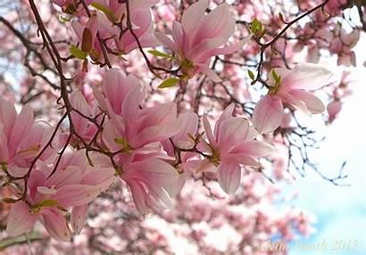 Magnolia Denudata Soulangeana Virginiana Smith Tag 2882