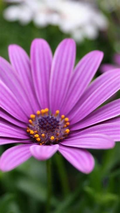 Iphone Flower Purple Flowers Wallpapers Nature Lotus