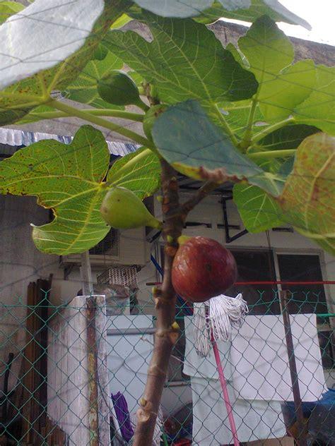 taman temperate pokok buah tin buah fig buah ara belakang rumah  johor bahru