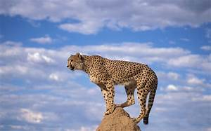 Saving Cheetahs  A Need For Speed