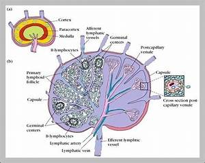 Anatomy Of Lymph Nodes