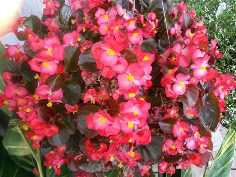 begonias outdoors begonia annual the great outdoors pinterest