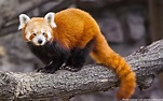 Interesting facts about red pandas | Just Fun Facts