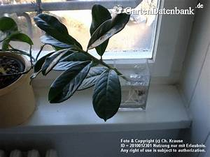 Kirschlorbeer Selber Ziehen : vermehrung von kirschlorbeer kirschlorbeer selber vermehren ableger besser als orchideen ~ Orissabook.com Haus und Dekorationen