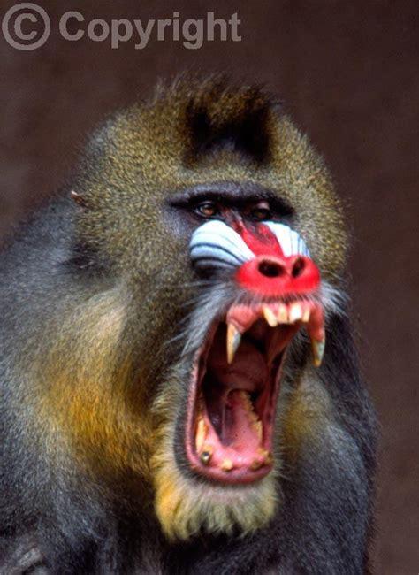 zoo animals mandrill