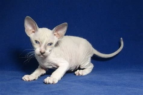 peterbald info personality care training kittens