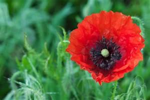 Poppy Flower Meaning - Flower Meaning