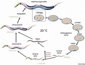 Life Cycle Of C  Elegans At 20  U00b0c  An Adult Hermaphrodite