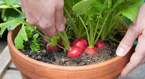 growing  radish   grow radish step  step pictures